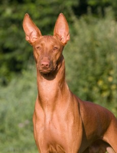 Pharaoh-Hound-Face-Picture-787x1024